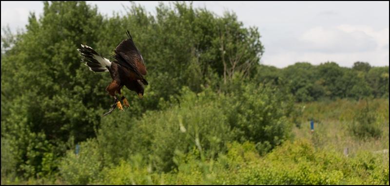 Faucon qui vole