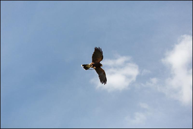 Faucon dans le ciel